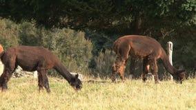Alpaca, West coast, New Zealand stock footage