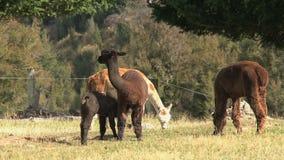 Alpaca, West coast, New Zealand stock video