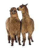 Alpaca whispering at another Alpaca's ear Stock Images