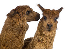 Alpaca whispering at another Alpaca's ear Stock Photo