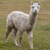 Alpaca white Stock Photography