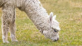 Alpaca white Stock Images