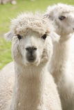 Alpaca. White alpacas in a paddock Royalty Free Stock Photography