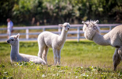 Alpaca white lama in a group. Lama guanicoe, white Lama animal outdoors in summer Royalty Free Stock Photography