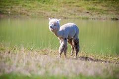 Alpaca white lama. Lama guanicoe, white Lama animal outdoors in summer Stock Images