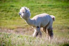 Alpaca white lama. Lama guanicoe, white Lama animal outdoors in summer Stock Photo