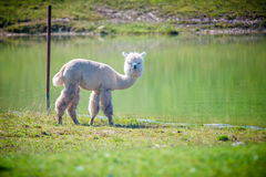 Alpaca white lama looking straight. Lama guanicoe, white Lama animal outdoors in summer Royalty Free Stock Photos