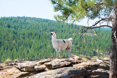 Alpaca. An white alpaca stands on a rock outcrop with a blurred evergreen forest in background. Copy space Stock Images