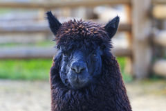 Alpaca wool with black Royalty Free Stock Photography