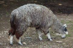 Alpaca (Vicugna pacos). Stock Images