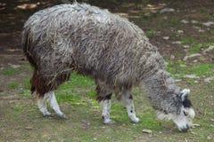 Alpaca (Vicugna pacos). Stock Photography