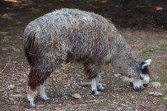 Alpaca (Vicugna pacos). Royalty Free Stock Photography