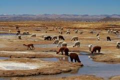 Alpaca y llama Imagen de archivo libre de regalías