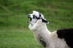 Alpaca, Yawning. A brown and white alpaca, yawning, with green background royalty free stock image