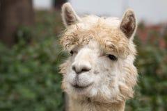 Alpaca in zoo Fotografie Stock Libere da Diritti
