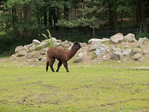 The alpaca in a zoo Royalty Free Stock Photography