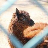 Alpaca at the zoo. Brown Alpaca in zoo closeup Royalty Free Stock Image