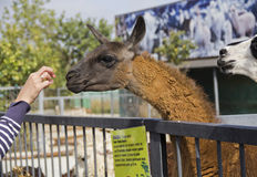 Alpaca at the zoo takes food from his hands. Stock Photos