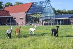 Alpacagrupp i ett fält bak ett hus med växthuset royaltyfri foto