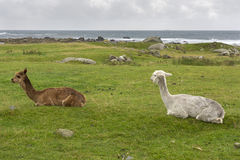 alpacain un prato inglese in Norvegia Fotografia Stock