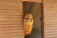 Alpacalama in dierentuin Royalty-vrije Stock Afbeelding