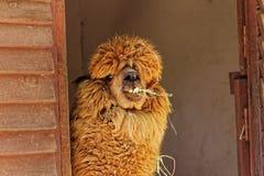 Alpacalama in dierentuin Royalty-vrije Stock Fotografie