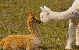 Alpacaliefde royalty-vrije stock afbeeldingen