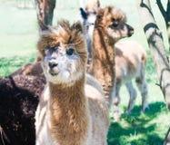 Alpacaportret Stock Fotografie