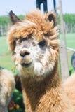 Alpacaportret Royalty-vrije Stock Fotografie