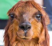 Alpacaportret Royalty-vrije Stock Foto