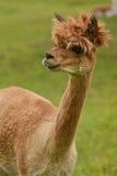 Alpacaportret stock foto's