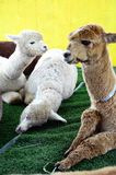 Alpacaportret op een Landbouwbedrijf Stock Afbeeldingen