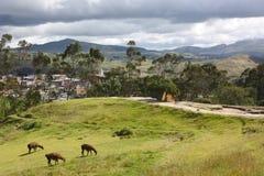 alpacas厄瓜多尔ingapirca 免版税图库摄影
