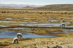 alpacas牧人秘鲁 免版税库存照片