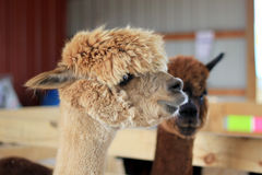 Alpacas Immagine Stock