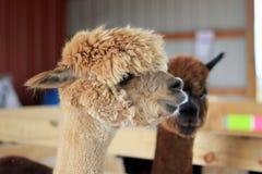 Alpacas Image stock