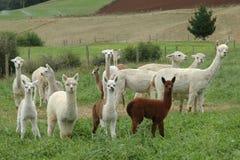 alpacas 库存照片