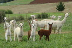 Alpacas. Fotografia Stock