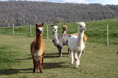 alpacas 免版税图库摄影