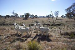 Alpacas Lizenzfreie Stockfotos
