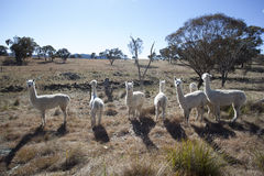 Alpacas Photographie stock