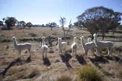 Alpacas Stockfotografie