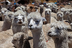 Alpacas Royalty Free Stock Image