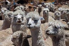 Alpacas Immagine Stock Libera da Diritti