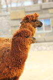 Alpacas Royalty Free Stock Photography