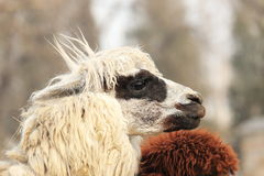 Alpacas Stock Photos