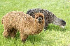 alpacas Imagenes de archivo