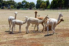 Alpacas Royalty Free Stock Images