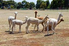Alpacas Immagini Stock Libere da Diritti