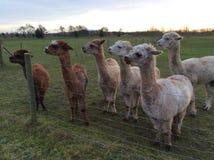 alpacas Fotografía de archivo libre de regalías